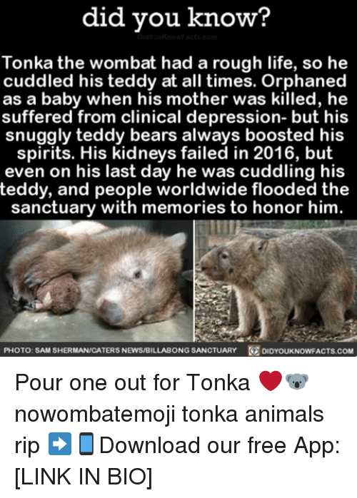 wombats: did you know?  Tonka the wombat had a rough life, so he  cuddled his teddy at all times. Orphaned  as a baby when his mother was killed, he  suffered from clinical depression- but his  snuggly teddy bears always boosted his  spirits. His kidneys failed in 2016, but  even on his last day he was cuddling his  teddy, and people worldwide flooded the  sanctuary with memories to honor him  PHOTO: SAM SHERMANICATERS NEWS/BILLABONG SANCTUARY  DIDYOUKNowFACTs.coM Pour one out for Tonka ❤️🐨 nowombatemoji tonka animals rip ➡📱Download our free App: [LINK IN BIO]