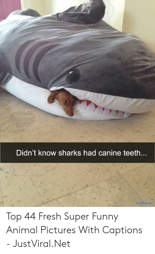 funny animal: Didn't know sharks had canine teeth....  JustViral Net Top 44 Fresh Super Funny Animal Pictures With Captions - JustViral.Net