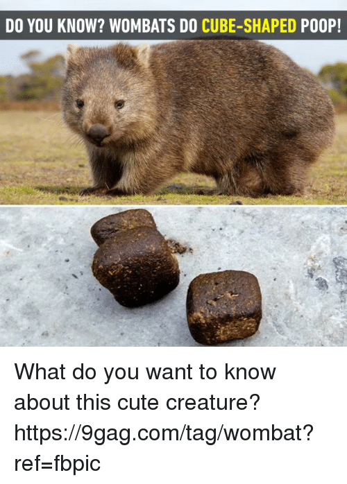 wombats: DO YOU KNOW? WOMBATS DO CUBE-SHAPED PO0P! What do you want to know about this cute creature? https://9gag.com/tag/wombat?ref=fbpic