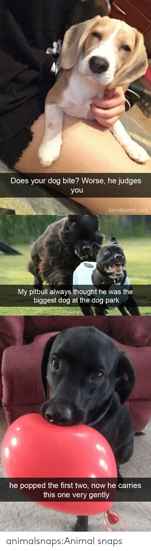 Target, Tumblr, and Pitbull: Does your dog bite? Worse, he judges  you  boredpanda.com   My pitbull always thought he was the  biggest dog at the dog park   he popped the first two, now he carries  this one very gently animalsnaps:Animal snaps