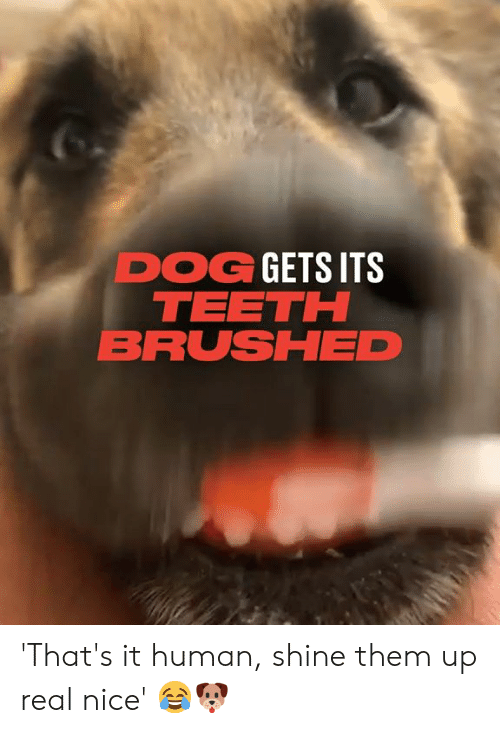 Dank, Nice, and 🤖: DOG GETS ITS  TEETH  BRUSHED 'That's it human, shine them up real nice' 😂🐶