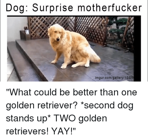"Dank, Dogs, and Ups: Dog: Surprise motherfucker  imgur.com/gallery/1SS ""What could be better than one golden retriever?  *second dog stands up*  TWO golden retrievers! YAY!"""