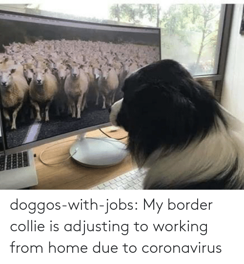 working: doggos-with-jobs:  My border collie is adjusting to working from home due to coronavirus