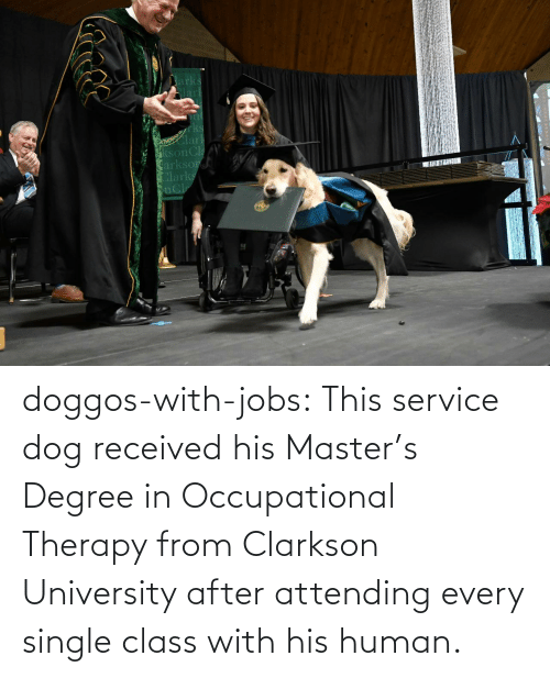 Jobs: doggos-with-jobs:  This service dog received his Master's Degree in Occupational Therapy from Clarkson University after attending every single class with his human.