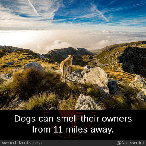 Dogs, Facts, and Memes: Dogs can smell their owners  from 11 miles away  weird-facts.org  @factsweird