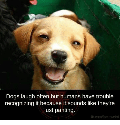 Dog Laughing: Dogs laugh often but humans have trouble  recognizing it because it sounds like they're  just panting.  fb.com/factsweird