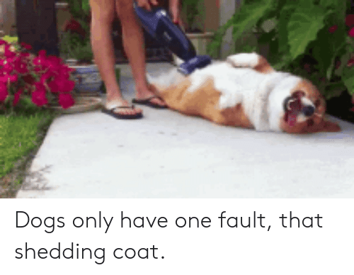 shedding: Dogs only have one fault, that shedding coat.