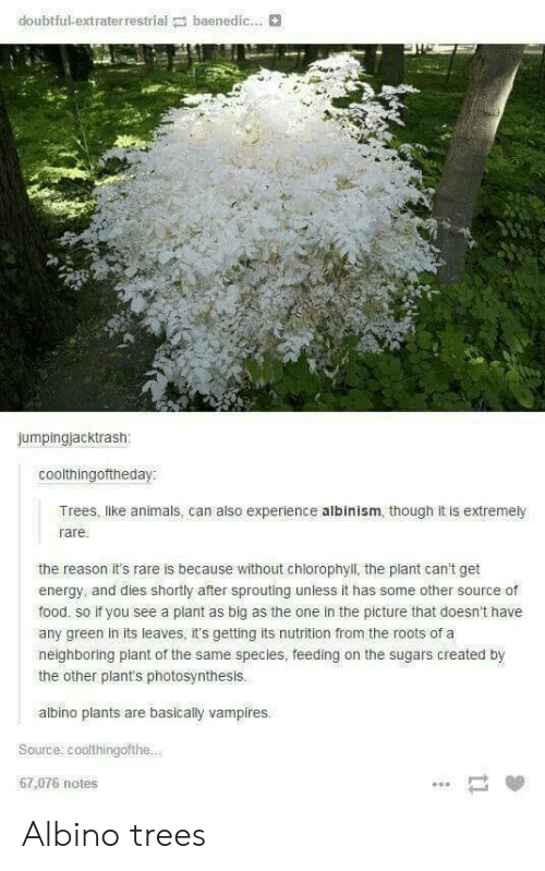 Animals, Energy, and Food: doubtful-extraterrestrial baenedic...  jumpingjacktrash  coolthingoftheday:  Trees, like animals, can also experience albinism, though it is extremely  rare  the reason it's rare is because without chlorophyll, the plant can't get  energy, and dies shortly after sprouting unless it has some other source of  food, so if you see a plant as big as the one in the picture that doesn't have  any green in its leaves, it's getting its nutrition from the roots of a  neighboring plant of the same species, feeding on the sugars created by  the other plant's photosynthesis.  albino plants are basically vampires.  Source: coolthingofthe.  67,076 notes Albino trees