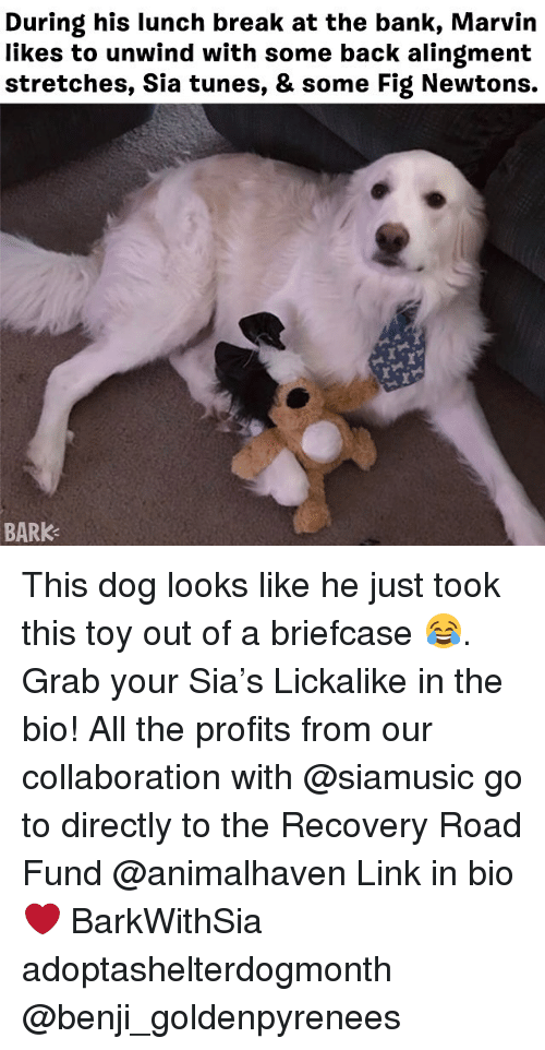 Fig Newtons: During his lunch break at the bank, Marvin  likes to unwind with some back alingment  stretches, Sia tunes, & some Fig Newtons.  BARK This dog looks like he just took this toy out of a briefcase 😂. Grab your Sia's Lickalike in the bio! All the profits from our collaboration with @siamusic go to directly to the Recovery Road Fund @animalhaven Link in bio ❤️ BarkWithSia adoptashelterdogmonth @benji_goldenpyrenees