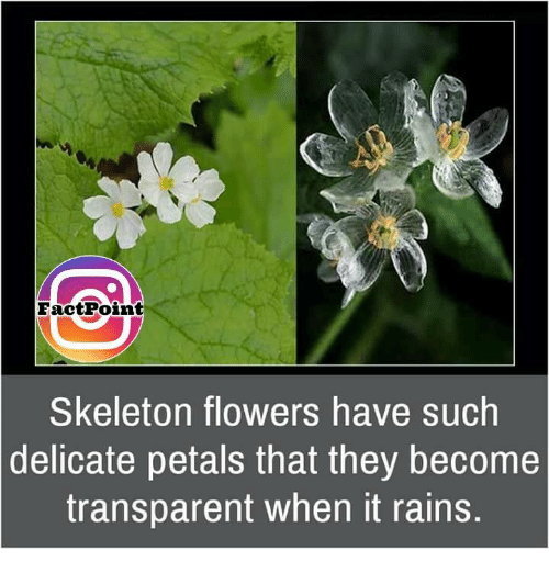 Transparencies: EactPoint  Skeleton flowers have such  delicate petals that they become  transparent when it rains.