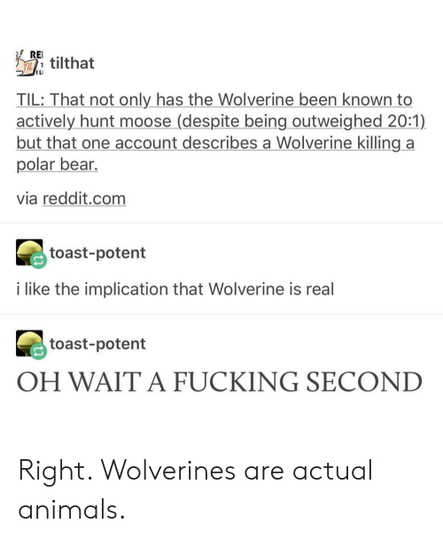 Animals, Fucking, and Reddit: Eilthat  ILI  TIL: That not only has the Wolverine been known to  actively hunt moose (despite being outweighed 20:1)  but that one account describes a Wolverine killing a  polar bear.  via reddit.com  toast-potent  i like the implication that Wolverine is real  toast-potent  OH WAIT A FUCKING SECOND Right. Wolverines are actual animals.