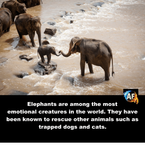 dog-and-cats: Elephants are among the most  emotional creatures in the world. They have  been known to rescue other animals such as  trapped dogs and cats.