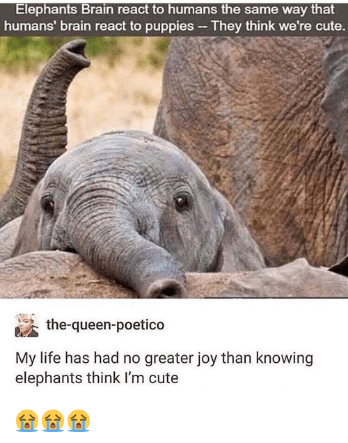 Cute, Life, and Memes: Elephants Brain react to humans the same way that  humans' brain react to puppies - They think we're cute.  泌the-queen-poetico  My life has had no greater joy than knowing  elephants think I'm cute 😭😭😭