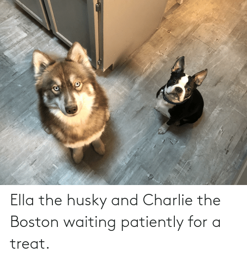 ella: Ella the husky and Charlie the Boston waiting patiently for a treat.