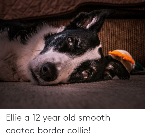 12 Year: Ellie a 12 year old smooth coated border collie!