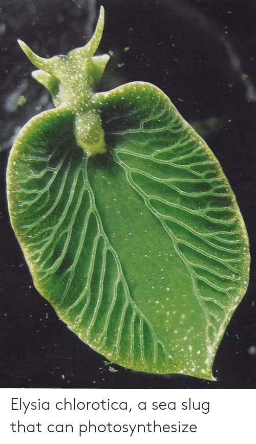 sea slug: Elysia chlorotica, a sea slug that can photosynthesize