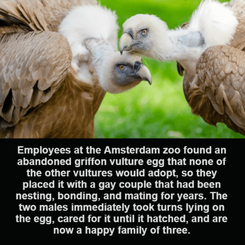 nesting: Employees at the Amsterdam zoo found an  abandoned griffon vulture egg that none of  the other vultures would adopt, so they  placed it with a gay couple that had been  nesting, bonding, and mating for years. The  two males immediately took turns lying on  the egg, cared for it until it hatched, and are  now a happy family of three