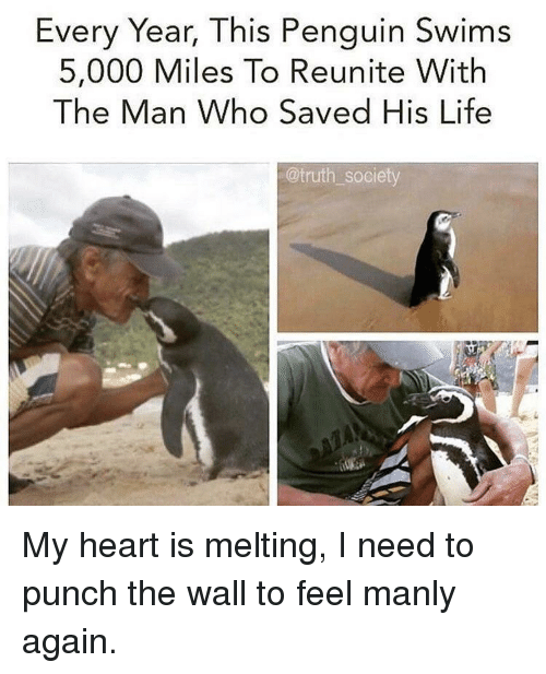 Life, Heart, and Penguin: Every Year, This Penguin Swims  5,000 Miles To Reunite With  The Man Who Saved His Life  @truth society My heart is melting, I need to punch the wall to feel manly again.