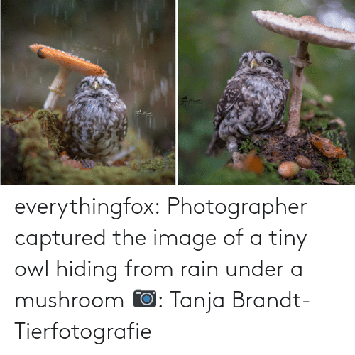 hiding: everythingfox:   Photographer captured the image of a tiny owl hiding from rain under a mushroom   📷:  Tanja Brandt-Tierfotografie