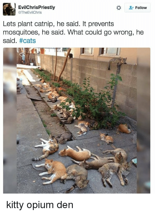 Cats, Memes, and 🤖: EvilChrisPriestly  @TheEvilChris  Follow  Lets plant catnip, he said. It prevents  mosquitoes, he said. What could go wrong, he  said. kitty opium den