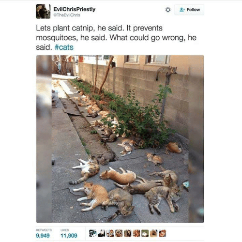 catnip: EvilChrisPriestly  TheEvilChris  Follow  Lets plant catnip, he said. It prevents  mosquitoes, he said. What could go wrong, he  said. #cats  RETWEETS  UKES  9,949  11,909