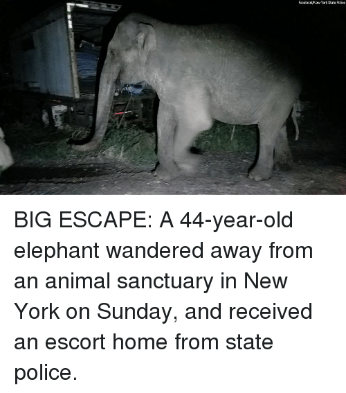 Facebook, Memes, and New York: Facebook/New York State Police BIG ESCAPE: A 44-year-old elephant wandered away from an animal sanctuary in New York on Sunday, and received an escort home from state police.