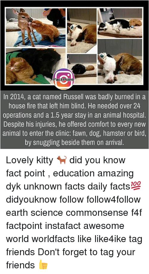 Facts, Fire, and Friends: FactPoint  In 2014, a cat named Russell was badly burned in a  house fire that left him blind. He needed over 24  operations and a 1.5 year stay in an animal hospital  Despite his injuries, he offered comfort to every new  animal to enter the clinic: fawn, dog, hamster or bird,  by snuggling beside them on arrival Lovely kitty 🐈 did you know fact point , education amazing dyk unknown facts daily facts💯 didyouknow follow follow4follow earth science commonsense f4f factpoint instafact awesome world worldfacts like like4ike tag friends Don't forget to tag your friends 👍