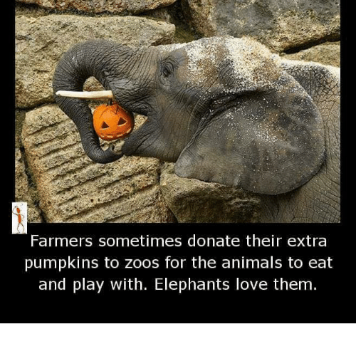 Animals, Love, and Memes: Farmers sometimes donate their extra  pumpkins to Zoos for the animals to eat  and play with. Elephants love them.