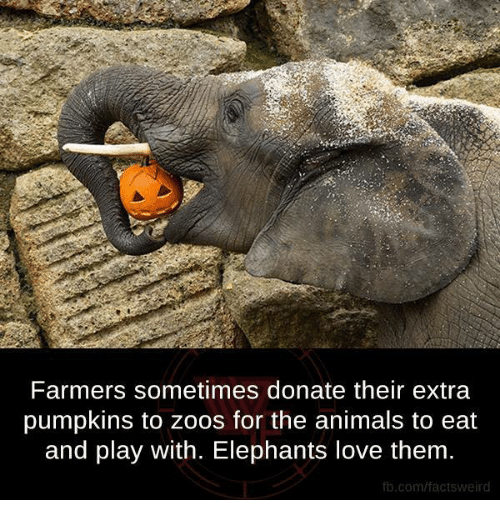 Animals, Love, and Memes: Farmers sometimes donate their extra  pumpkins to zoos for the animals to eat  and play with. Elephants love them.  fb.com/factsweird