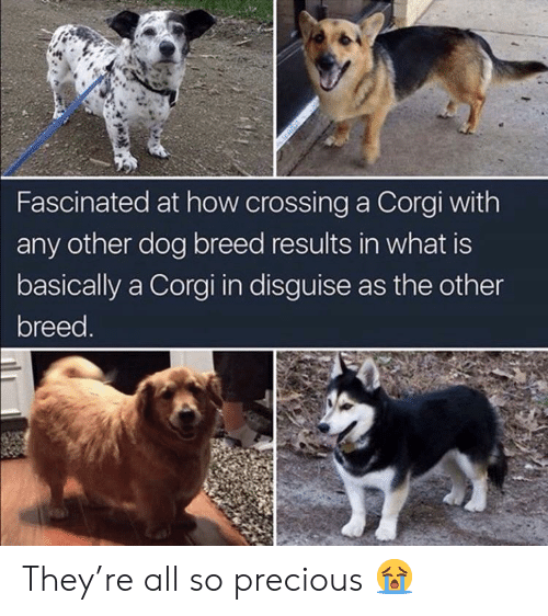 Corgi, Precious, and What Is: Fascinated at how crossing a Corgi with  any other dog breed results in what is  basically a Corgi in disguise as the other  breed They're all so precious 😭