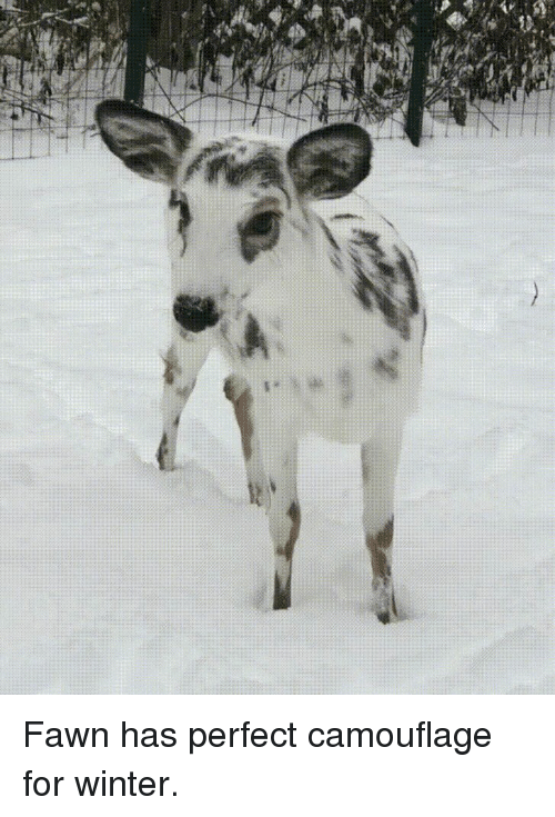 Winter, For, and Perfect: Fawn has perfect camouflage for winter.