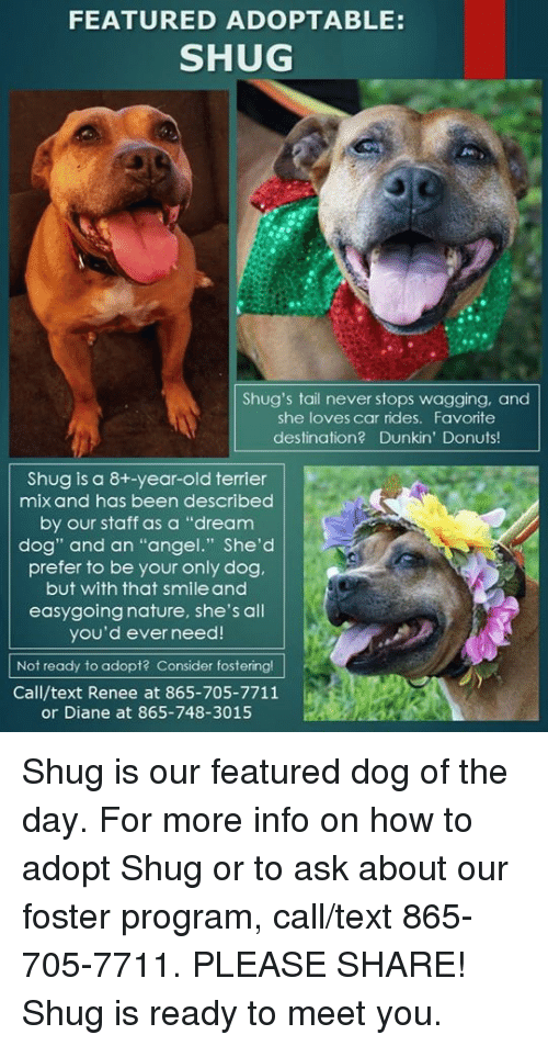 """Shug: FEATURED ADOPTABLE:  SHUG  Shug's tail never stops wagging, and  she loves car rides. Favorite  destination? Dunkin' Donuts  Shug is a 8+-year-old terrier  mix and has been described  by our staff as a """"dream  dog"""" and an """"angel."""" She'd  prefer to be your only dog,  but with that smile and  easygoing nature, she's all  you'd ever need!  Not ready to adopt? Consider fostering!  Call/text Renee at 865-705-7711  or Diane at 865-748-3015 Shug is our featured dog of the day.  For more info on how to adopt Shug or to ask about our foster program, call/text 865-705-7711.  PLEASE SHARE!  Shug is ready to meet you."""