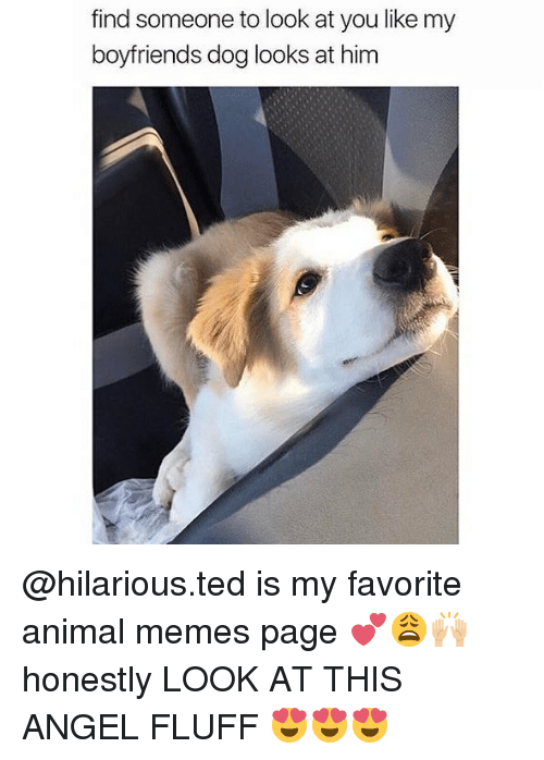 Memes Page: find someone to look at you like my  boyfriends dog looks at him @hilarious.ted is my favorite animal memes page 💕😩🙌🏼 honestly LOOK AT THIS ANGEL FLUFF 😍😍😍