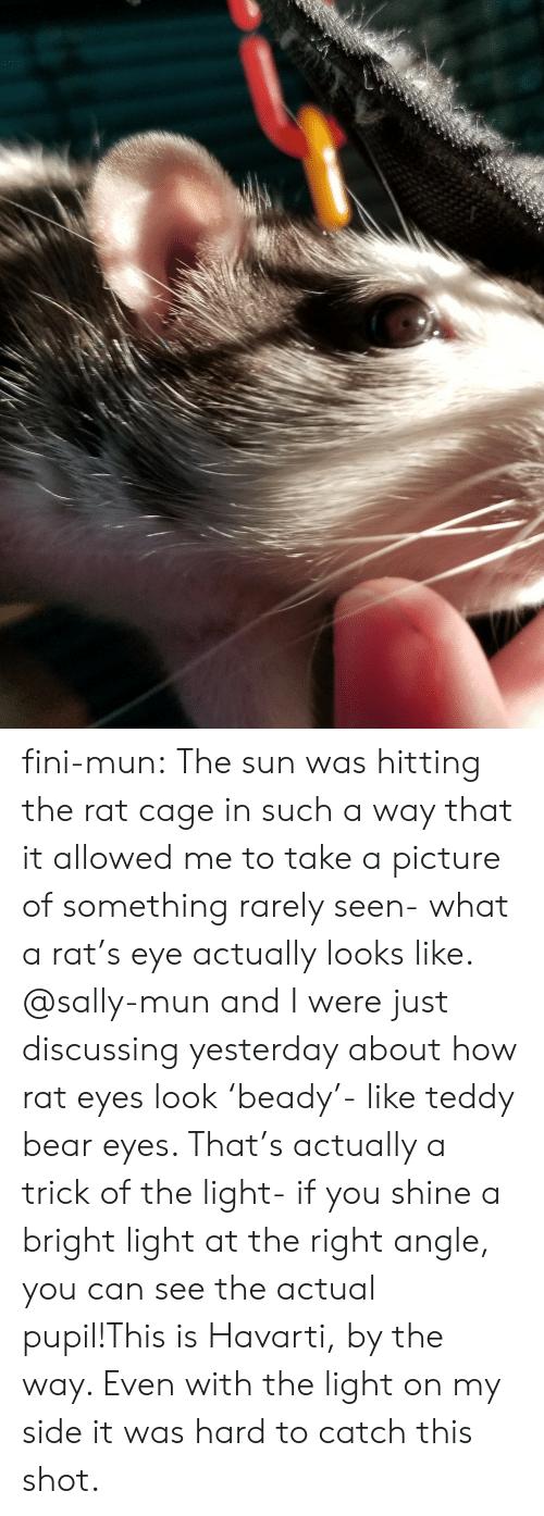 take a picture: fini-mun:  The sun was hitting the rat cage in such a way that it allowed me to take a picture of something rarely seen- what a rat's eye actually looks like. @sally-mun and I were just discussing yesterday about how rat eyes look 'beady'- like teddy bear eyes. That's actually a trick of the light- if you shine a bright light at the right angle, you can see the actual pupil!This is Havarti, by the way. Even with the light on my side it was hard to catch this shot.