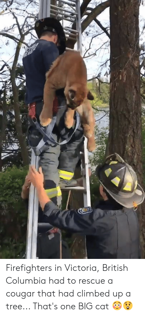 firefighters: Firefighters in Victoria, British Columbia had to rescue a cougar that had climbed up a tree... That's one BIG cat 😳😲