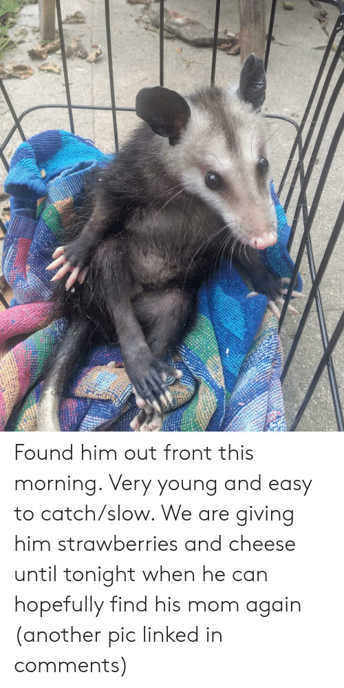 Mom, Another, and Cheese: Found him out front this morning. Very young and easy to catch/slow. We are giving him strawberries and cheese until tonight when he can hopefully find his mom again (another pic linked in comments)