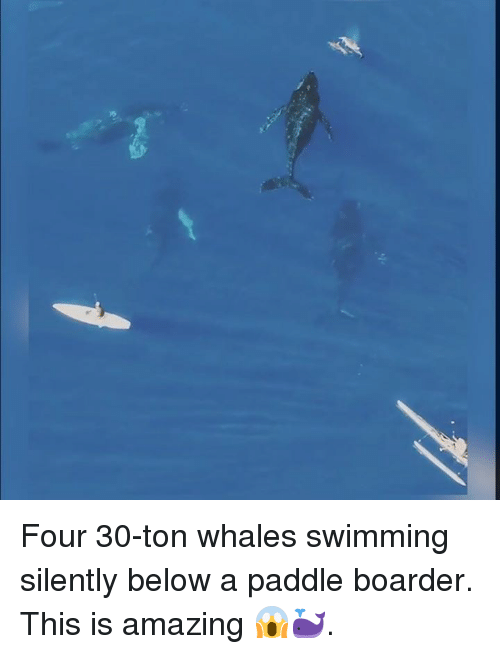 boarders: Four 30-ton whales swimming silently below a paddle boarder. This is amazing 😱🐳.