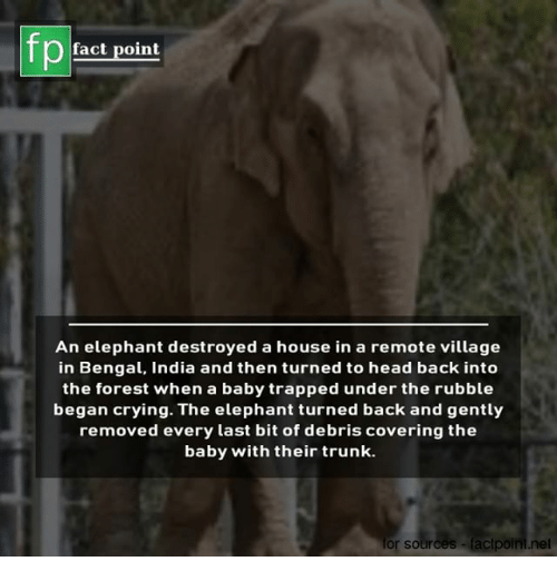 rubble: fp  fact point  An elephant destroyed a house in a remote village  in Bengal, India and then turned to head back into  the forest when a baby trapped under the rubble  began crying. The elephant turned back and gently  removed every last bit of debris covering the  baby with their trunk.  or sources  lacipoini.net