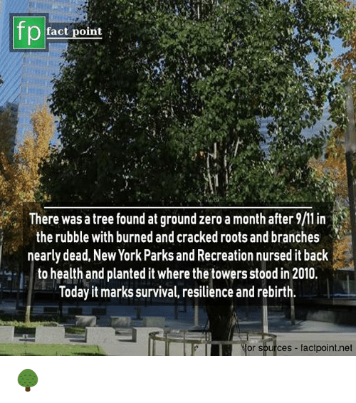 rubble: fp  fact point  There was a tree found at ground zero a month after  the rubble with burned and cracked roots and branches  nearly dead, New York Parks and Recreation nursed it back  to health and planted it where thetowers stood in 2010.  loday it marks survival, resilience and rebirth  or sources factpoint.net 🌳