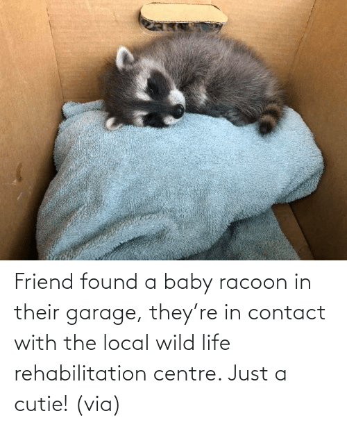 friend: Friend found a baby racoon in their garage, they're in contact with the local wild life rehabilitation centre. Just a cutie! (via)