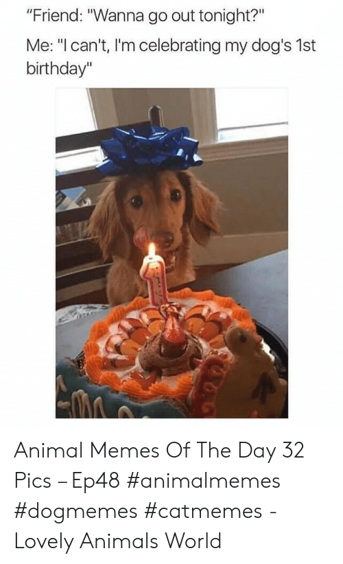 """memes of the day: """"Friend: """"Wanna go out tonight?""""  Me: """"I can't, I'm celebrating my dog's 1st  birthday"""" Animal Memes Of The Day 32 Pics – Ep48 #animalmemes #dogmemes #catmemes - Lovely Animals World"""