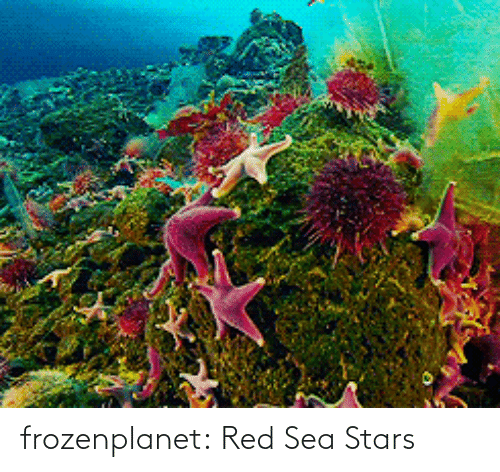 Stars: frozenplanet:  Red Sea Stars