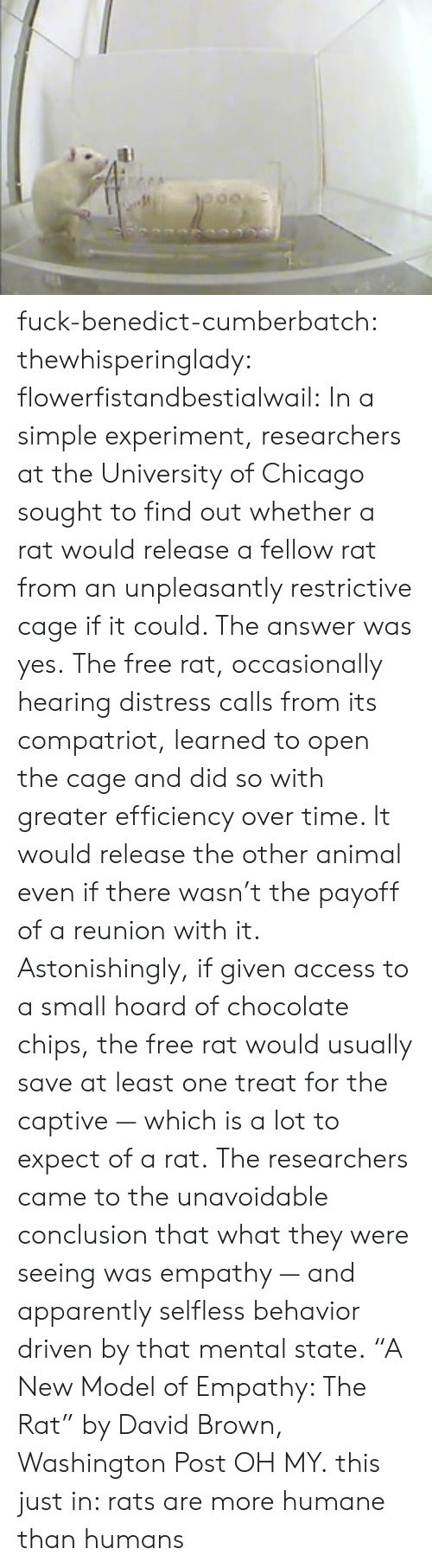 "Apparently, Chicago, and Target: fuck-benedict-cumberbatch:  thewhisperinglady:  flowerfistandbestialwail:   In a simple experiment, researchers at the University of Chicago sought to find out whether a rat would release a fellow rat from an unpleasantly restrictive cage if it could. The answer was yes. The free rat, occasionally hearing distress calls from its compatriot, learned to open the cage and did so with greater efficiency over time. It would release the other animal even if there wasn't the payoff of a reunion with it. Astonishingly, if given access to a small hoard of chocolate chips, the free rat would usually save at least one treat for the captive — which is a lot to expect of a rat. The researchers came to the unavoidable conclusion that what they were seeing was empathy — and apparently selfless behavior driven by that mental state. ""A New Model of Empathy: The Rat"" by David Brown, Washington Post   OH MY.  this just in: rats are more humane than humans"