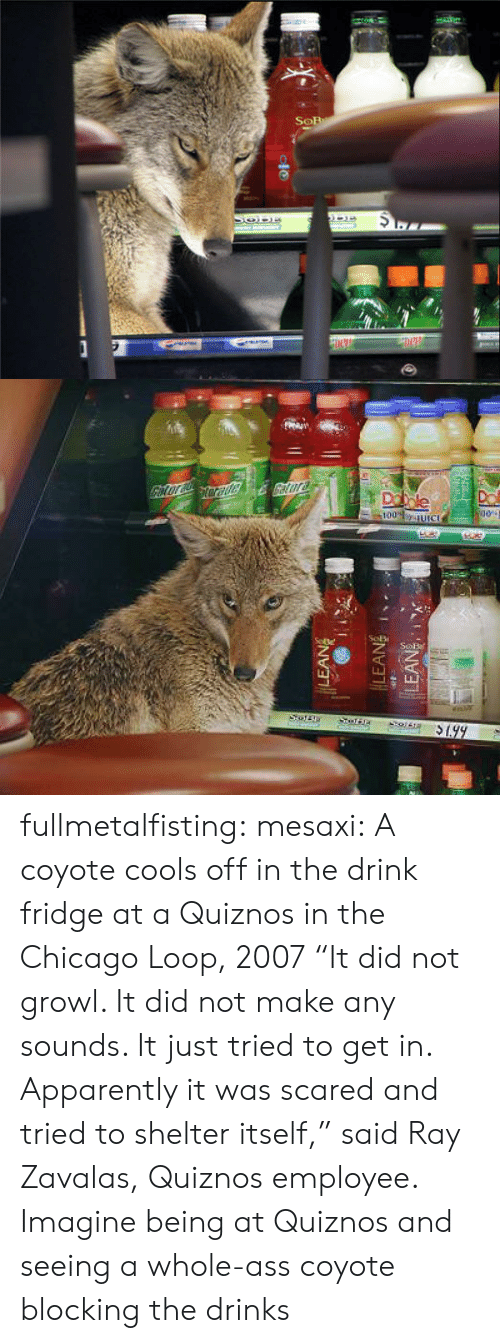 "Blocking: fullmetalfisting:  mesaxi:  A coyote cools off in the drink fridge at a Quiznos in the Chicago Loop, 2007 ""It did not growl. It did not make any sounds. It just tried to get in. Apparently it was scared and tried to shelter itself,"" said Ray Zavalas, Quiznos employee.   Imagine being at Quiznos and seeing a whole-ass coyote blocking the drinks"