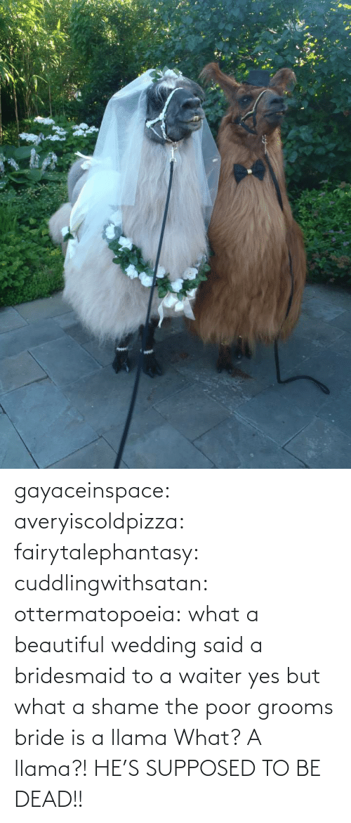 A Shame: gayaceinspace: averyiscoldpizza:  fairytalephantasy:  cuddlingwithsatan:  ottermatopoeia:  what a beautiful wedding  said a bridesmaid to a waiter  yes but what a shame  the poor grooms bride is a llama  What? A llama?! HE'S SUPPOSED TO BE DEAD!!
