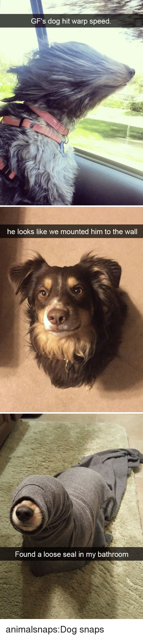 Tumblr, Blog, and Seal: GF's dog hit warp speed.   he looks like we mounted him to the wall   Found a loose seal in my bathroom animalsnaps:Dog snaps
