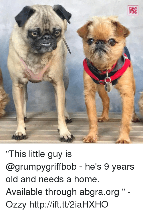"Ozzies: Giz  图  C) ""This little guy is @grumpygriffbob - he's 9 years old and needs a home. Available through abgra.org "" -Ozzy http://ift.tt/2iaHXHO"