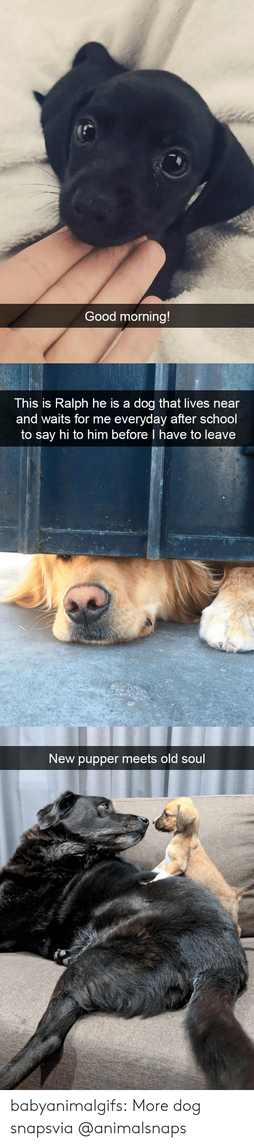 pupper: Good morning!   This is Ralph he is a dog that lives near  and waits for me everyday after school  to say hi to him before I have to leave   New pupper meets old soul babyanimalgifs:  More dog snapsvia @animalsnaps​