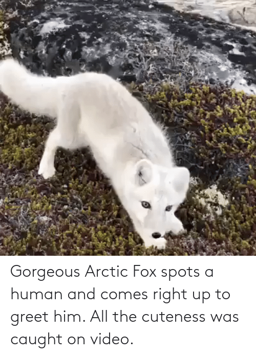 fox: Gorgeous Arctic Fox spots a human and comes right up to greet him. All the cuteness was caught on video.