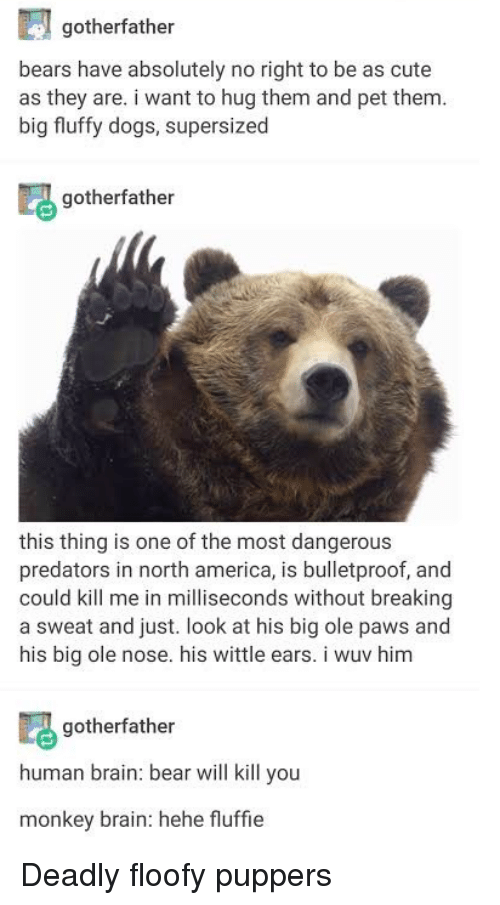 America, Cute, and Dogs: gotherfather  bears have absolutely no right to be as cute  as they are. i want to hug them and pet them  big fluffy dogs, supersized  gotherfather  this thing is one of the most dangerous  predators in north america, is bulletproof, and  could kill me in milliseconds without breaking  a sweat and just. look at his big ole paws and  his big ole nose. his wittle ears. i wuv him  gotherfather  human brain: bear will kill you  monkey brain: hehe fluffie Deadly floofy puppers